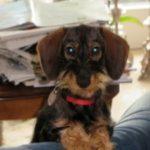 Hund Mattes hat ständig Durchfall und einen entzündeten Darm. Schließlich wird auf Grundlage des Cytolisa Tests das Futter umgestellt und der Durchfall verschwindet...